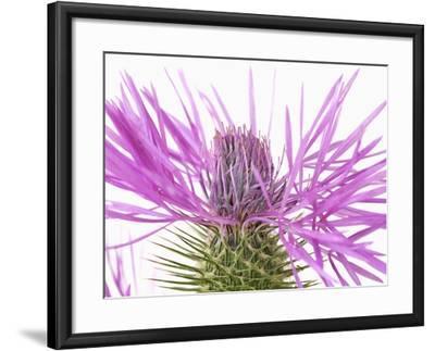 Purple Galactites-Frank Krahmer-Framed Photographic Print
