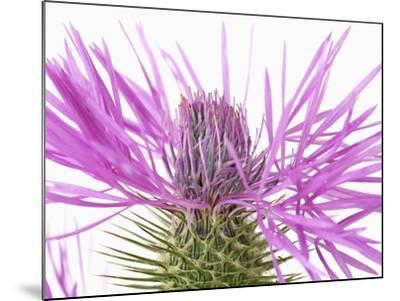 Purple Galactites-Frank Krahmer-Mounted Photographic Print