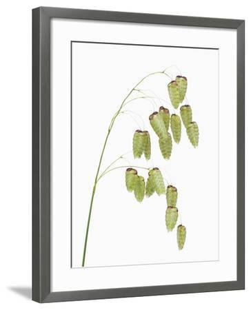 Common quaking grass (briza media)-Frank Krahmer-Framed Photographic Print