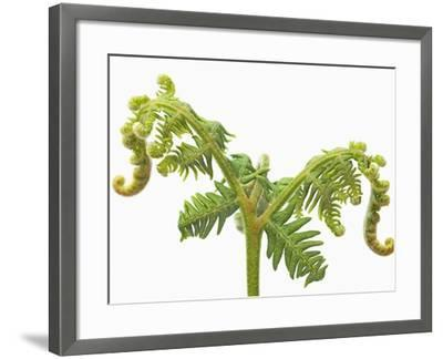 Fern sprouts-Frank Krahmer-Framed Photographic Print