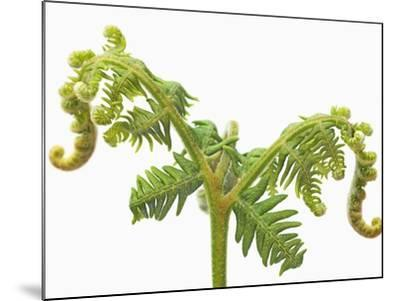 Fern sprouts-Frank Krahmer-Mounted Photographic Print
