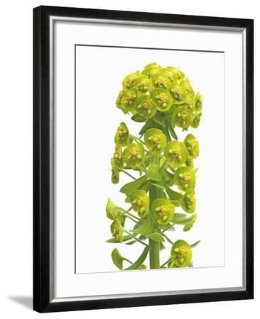 Euphorbia-Frank Krahmer-Framed Photographic Print