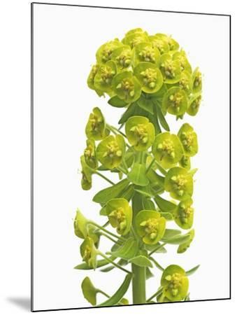 Euphorbia-Frank Krahmer-Mounted Photographic Print