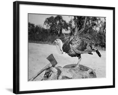 Side profile of a turkey and axe on a tree stump--Framed Photographic Print