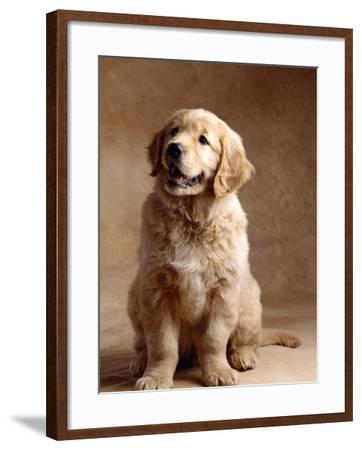 Golden Retriever Puppy-Don Mason-Framed Photographic Print