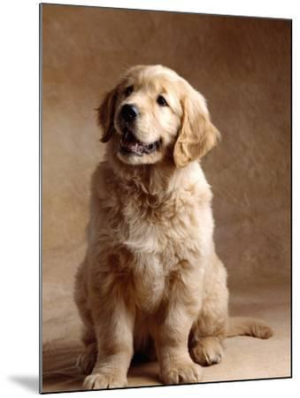 Golden Retriever Puppy-Don Mason-Mounted Photographic Print