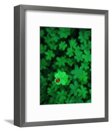 Ladybug on Four Leaf Clover-Bruce Burkhardt-Framed Photographic Print
