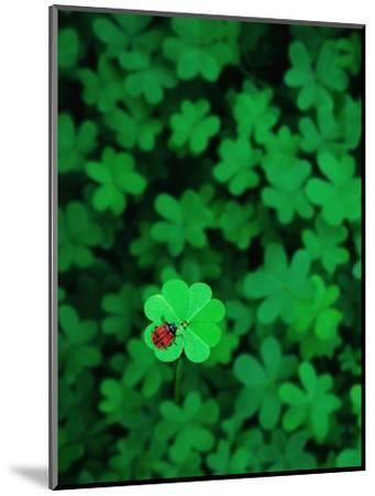 Ladybug on Four Leaf Clover-Bruce Burkhardt-Mounted Photographic Print