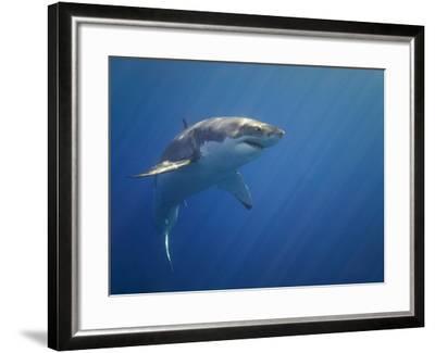 Shark in Open Water-Tim Davis-Framed Photographic Print