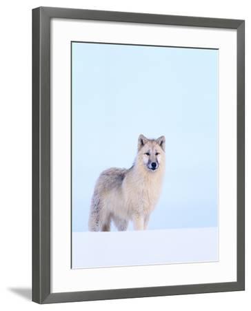 Gray Wolf in Snow-Jeff Vanuga-Framed Photographic Print