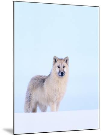Gray Wolf in Snow-Jeff Vanuga-Mounted Photographic Print