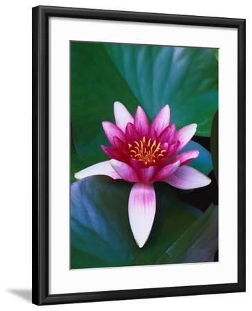 Red Water Lily-Robert Marien-Framed Photographic Print