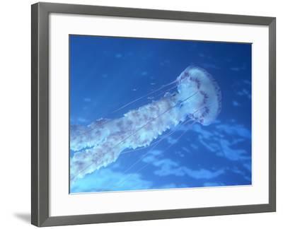 Purple Jellyfish (Pelagia panopyra)-Robert Marien-Framed Photographic Print