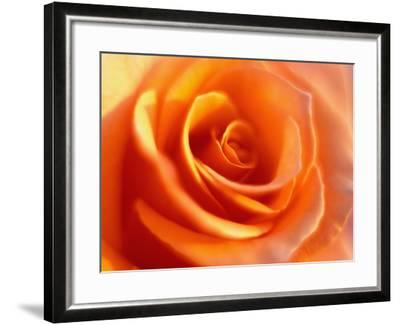 Peach Rose-David Papazian-Framed Photographic Print
