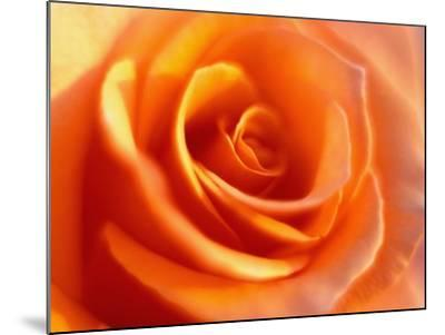 Peach Rose-David Papazian-Mounted Photographic Print