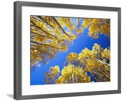 Aspen Trees Against Blue Sky-William Manning-Framed Photographic Print