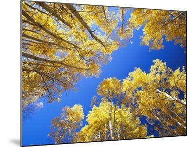 Aspen Trees Against Blue Sky-William Manning-Mounted Photographic Print