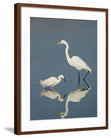 Snowy and Great Egrets-Arthur Morris-Framed Photographic Print