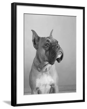 Close View of a Boxer-Bettmann-Framed Photographic Print