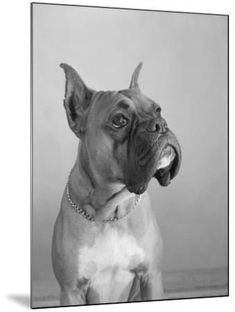 Close View of a Boxer-Bettmann-Mounted Photographic Print
