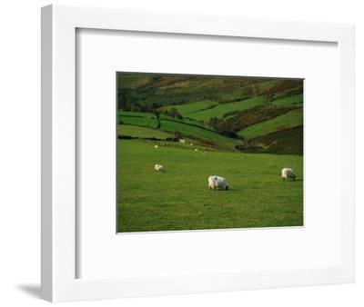 Sheep and Stone Walls in Green Pastures-Richard Cummins-Framed Photographic Print