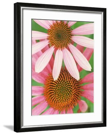 Pink Cone Flowers Close-Up-Richard Hamilton Smith-Framed Photographic Print