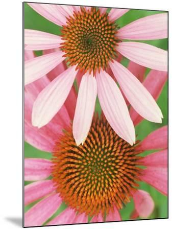 Pink Cone Flowers Close-Up-Richard Hamilton Smith-Mounted Photographic Print