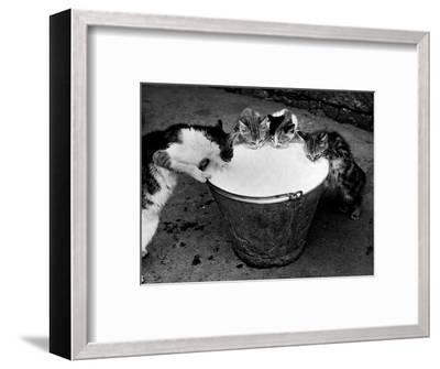 Kittens Slurping from a Pail of Milk--Framed Photographic Print
