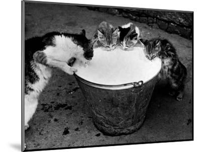 Kittens Slurping from a Pail of Milk--Mounted Photographic Print