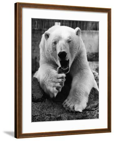 Yawning Polar Bear--Framed Photographic Print
