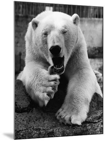 Yawning Polar Bear--Mounted Photographic Print