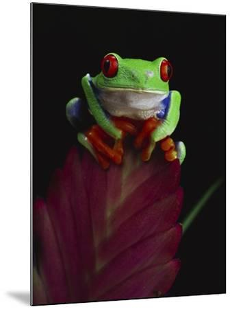 Red-Eyed Tree Frog Perched on Plant-David Northcott-Mounted Photographic Print