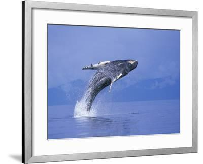 Young Humpback Whale Breaching in Frederick Sound-Paul Souders-Framed Photographic Print