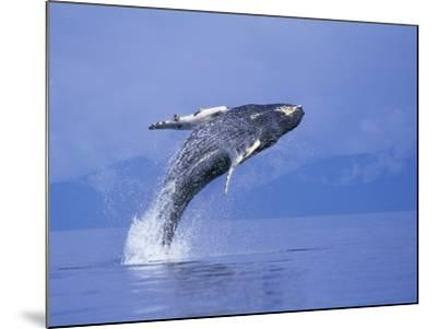 Young Humpback Whale Breaching in Frederick Sound-Paul Souders-Mounted Photographic Print