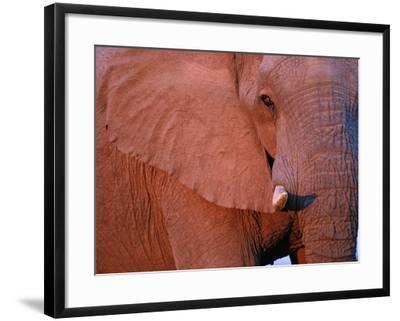 Bull Elephant by Setting Sunlight-Paul Souders-Framed Photographic Print