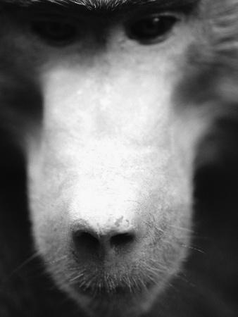 Baboon Face-Henry Horenstein-Framed Photographic Print