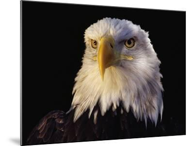 Head of Adult American Bald Eagle-W^ Perry Conway-Mounted Photographic Print
