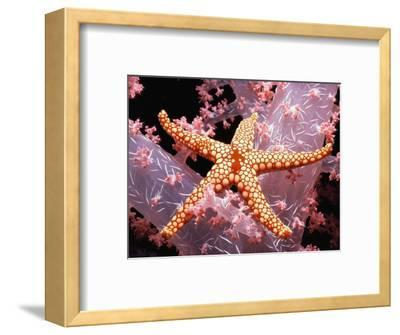 Red Mesh Starfish on Coral-Jeffrey L^ Rotman-Framed Photographic Print