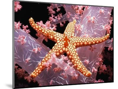 Red Mesh Starfish on Coral-Jeffrey L^ Rotman-Mounted Photographic Print