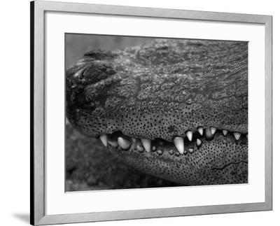 Snout of Crocodile-Henry Horenstein-Framed Photographic Print