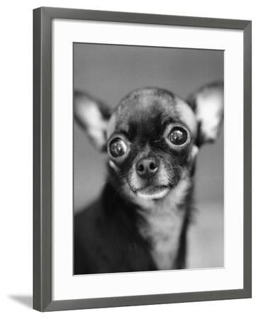 Chihuahua's Face-Henry Horenstein-Framed Photographic Print