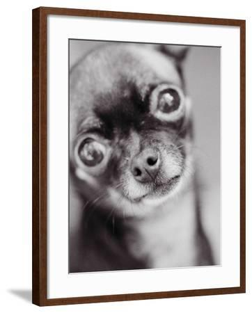 Face of a Chihuahua-Henry Horenstein-Framed Photographic Print