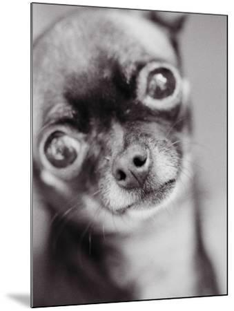 Face of a Chihuahua-Henry Horenstein-Mounted Photographic Print