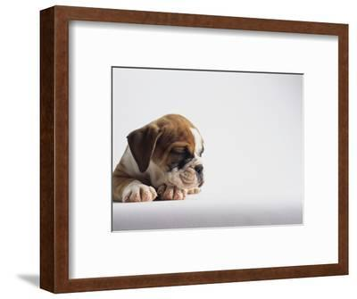 Bulldog Puppy-Jim Craigmyle-Framed Photographic Print