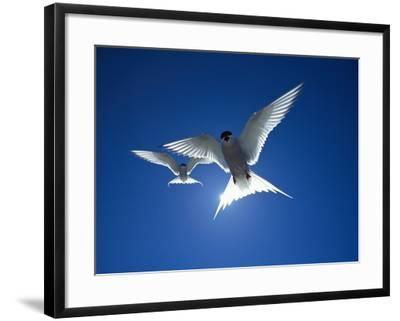 Pair of Birds Soaring Against Sun-Arthur Morris-Framed Photographic Print