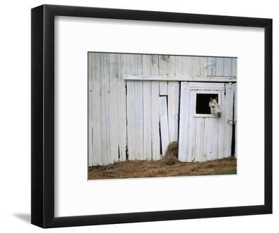 Horse Sticking Head out Barn Window-Kevin R^ Morris-Framed Photographic Print