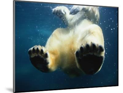 Paws of a Floating Polar Bear-Stuart Westmorland-Mounted Photographic Print