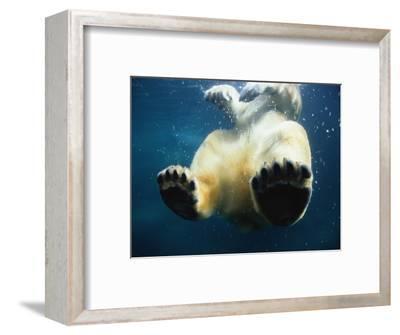 Paws of a Floating Polar Bear-Stuart Westmorland-Framed Photographic Print