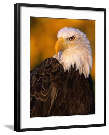 Bald Eagle-W^ Perry Conway-Framed Photographic Print