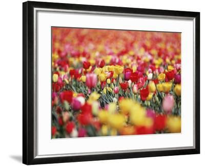 Colorful Tulips in Meadow-Craig Tuttle-Framed Photographic Print